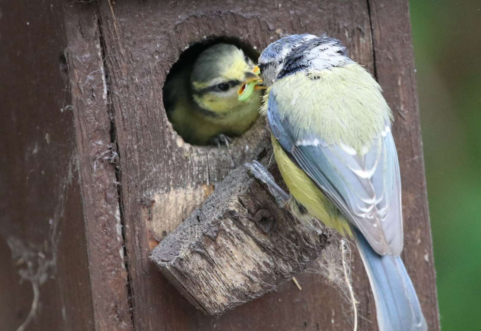 Amazing photos show a family of blue tits leaving their nest