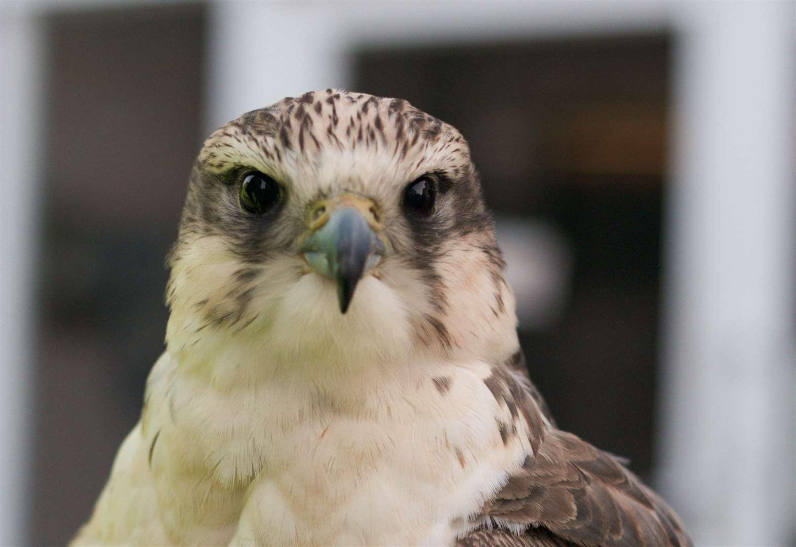 VIDEO: Plans to fly a falcon and hawk around Diss in a bid to clear town of pigeon mess have moved a step closer