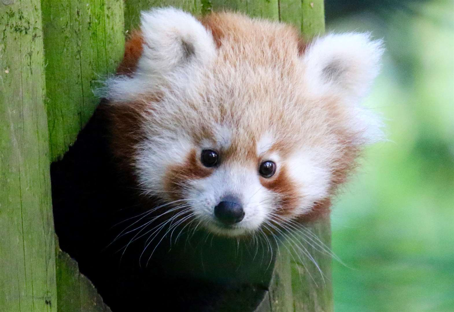 VIDEO: Red panda baby born at Banham Zoo
