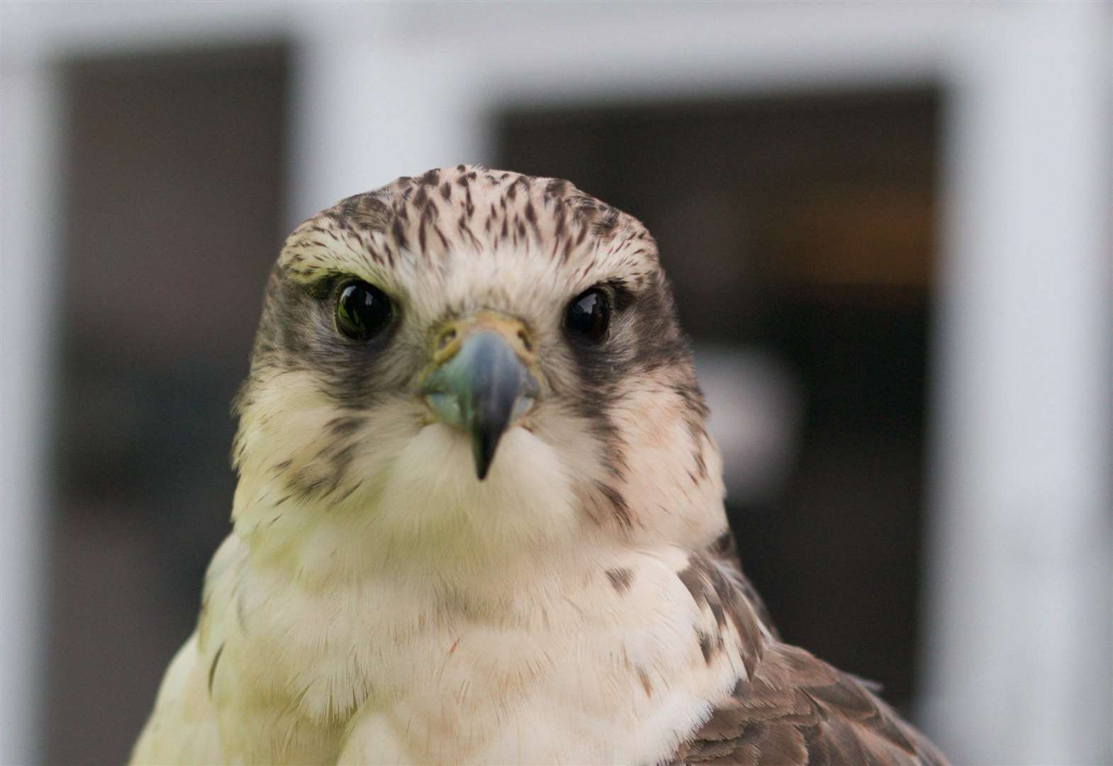 Meet Kenna the Falcon - who could become the pigeon frightener of Diss