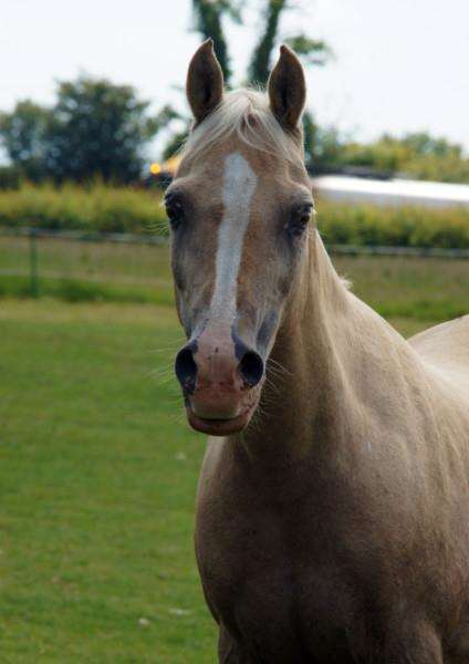 Palomino pony Percy was found non-weight-bearing lame. Photo: Redwings Horse Sanctuary.