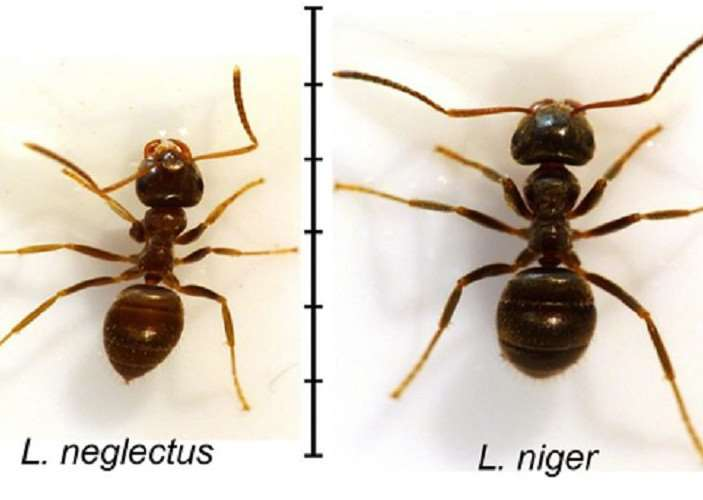 The alien invader ant Lasius neglectus, left, compared to the native brown garden ant