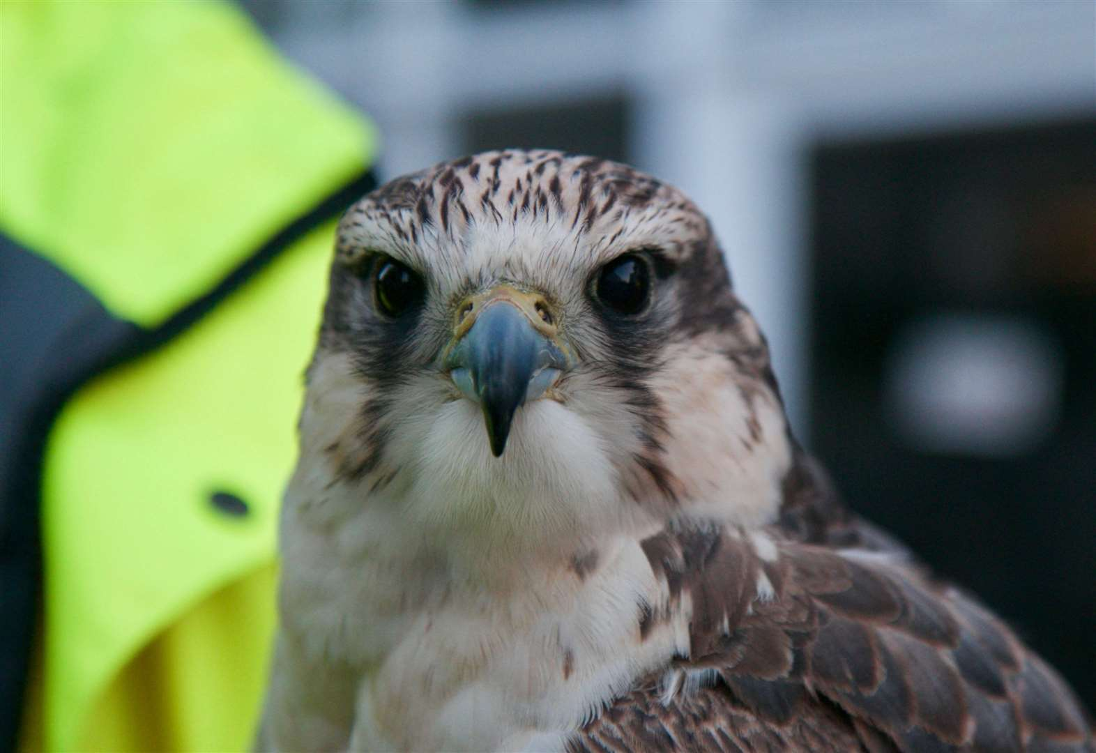 Jenna the Falcon, one of two birds which could be flown around Diss to deter pigeons. Picture: Chris Morris