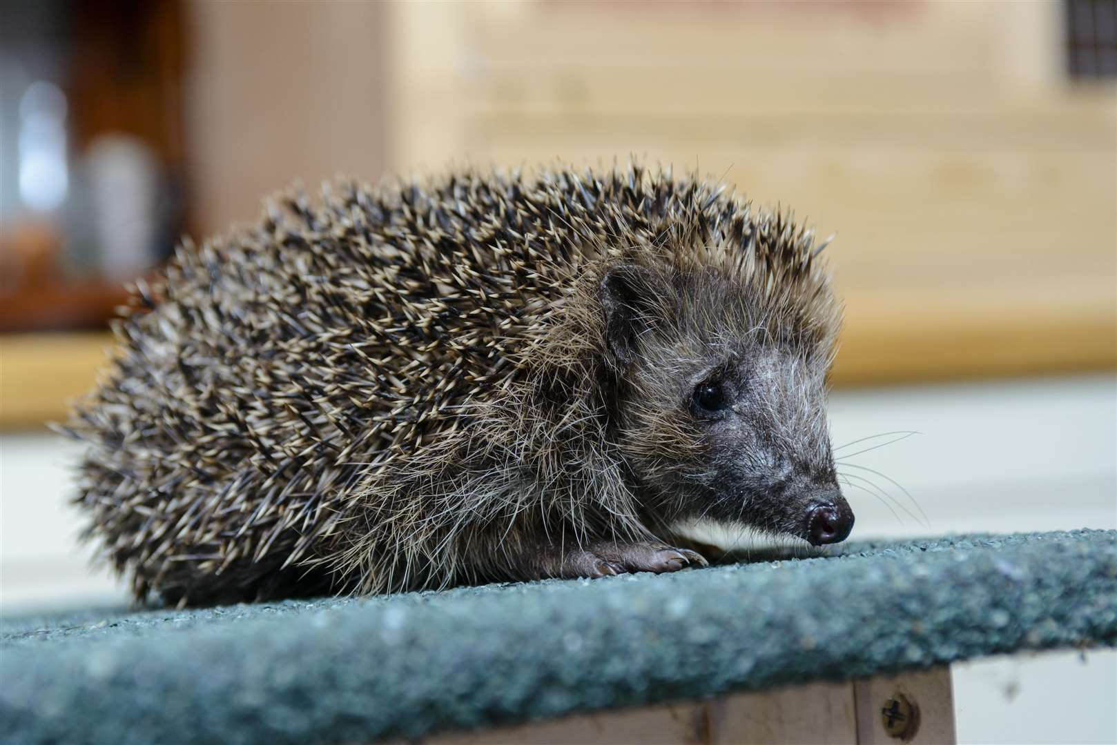 NOCTURNAL: Hedgehogs sleep in the day and only come out at night.