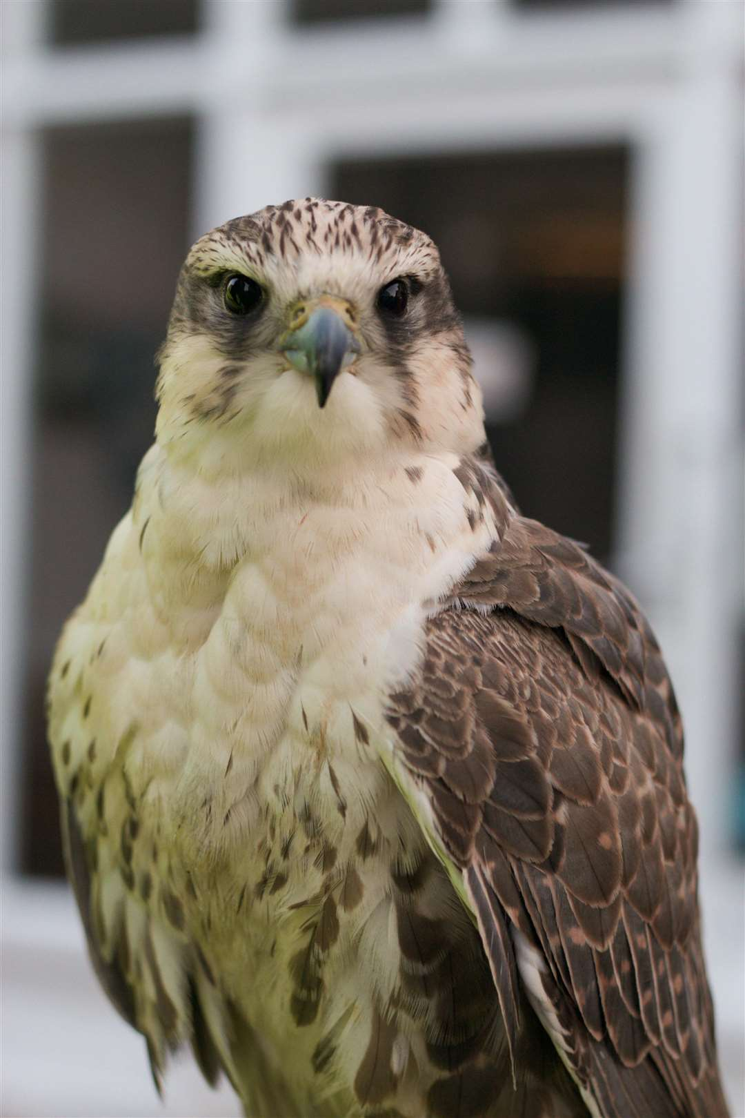 Kenna the Falcon is a Gyr-Saker crossbreed