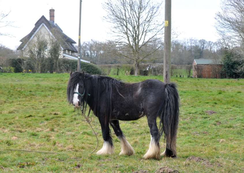 A black pony covered in lice has been left at the roadside in Roydon ANL-150204-084311009