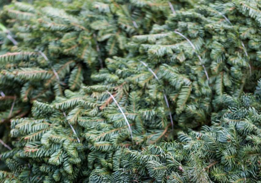 Beautiful fresh cut Christmas trees at Christmas tree farm. SUS-150928-123618003