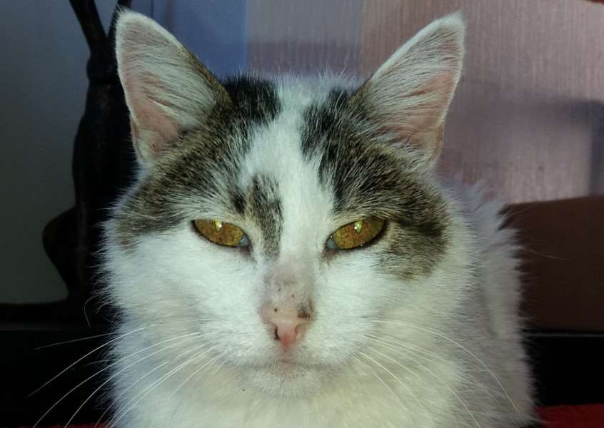 Cat of the Week - Flower. Picture: Feline Care Cat Rescue.
