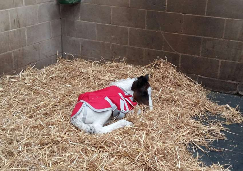 The orphan foal resting at World Horse Welfare