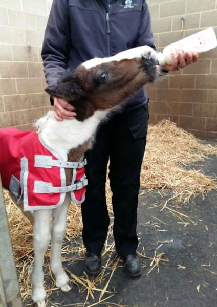 The orphan foal being bottle fed at World Horse Welfare