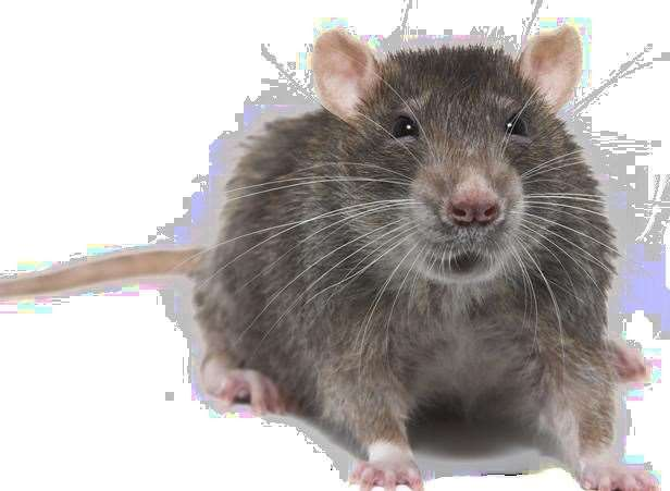 Rats are well-known for their ability to disrupt pigeon food supplies.