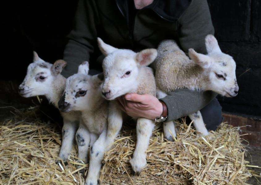 One of the two ewe quadruplets at Easton Park Farm in Framlingham.