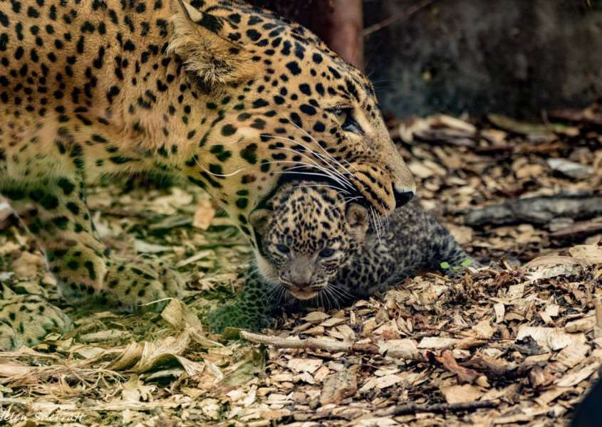 A pair of endangered leopards are the latest arrivals at Banham Zoo. Photo: Helen Sherratt.