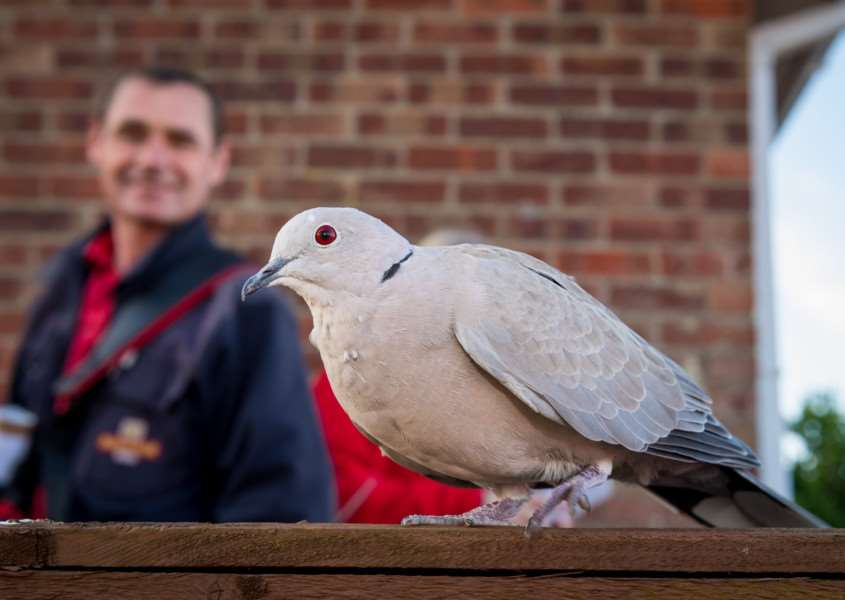 Collared Dove called Harold among other names with postman David Chamberlain age 53. Picture: James Linsell-Clark.