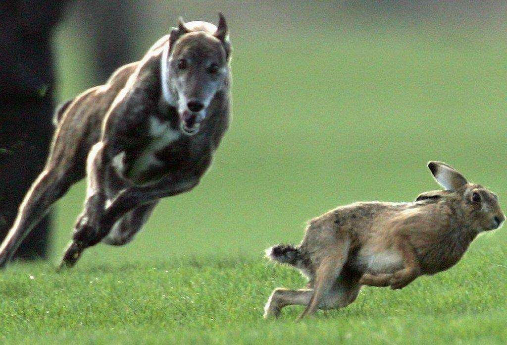 Hare coursing is illegal in Scotland, Wales and England and became illegal in Northern Ireland in 2011.